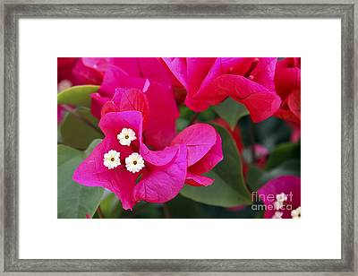 Hot Pink Bougainvillea Framed Print