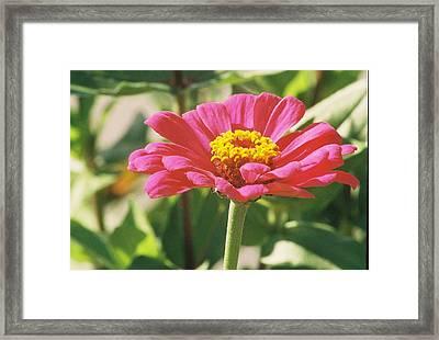 Hot Pink Flower In Frankemuth Michigan Framed Print by Cheryl Martin
