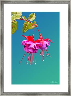 Hot Pink Fuchsias Framed Print