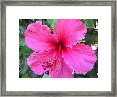 Hot Pink Hibiscus  Framed Print