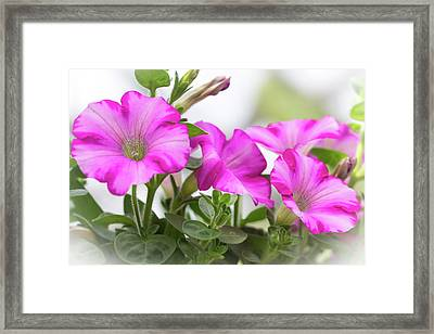 Hot Pink Petunias Framed Print by Mother Nature