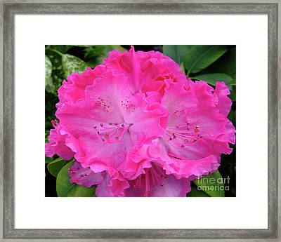Hot Pink Rhoda Framed Print