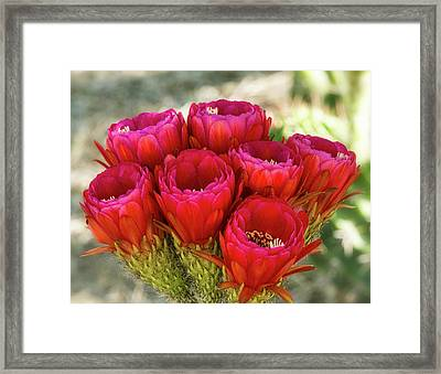 Framed Print featuring the photograph Hot Pink Torch Cactus Bouquet  by Saija Lehtonen