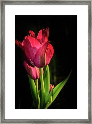 Hot Pink Tulip On Black Framed Print