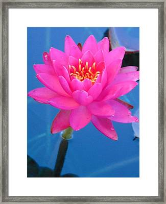 Hot Pink Water Lily Framed Print