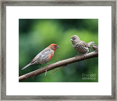 House Finch Courtship Framed Print by Wingsdomain Art and Photography