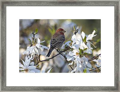 House Finch - D009905 Framed Print