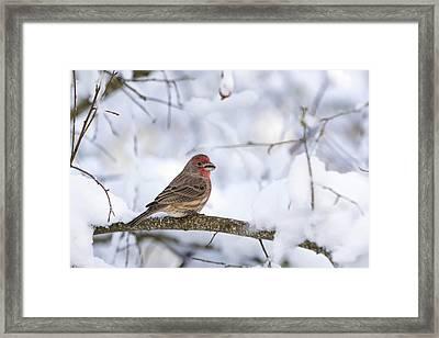 House Finch In Snow Framed Print by Brian Bonham