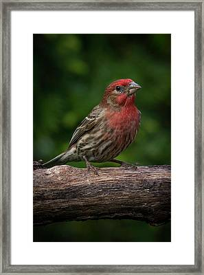 House Finch Framed Print