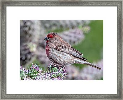 House Finch Male Framed Print