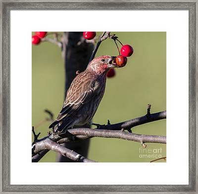 House Finch Vs Crabapple  Framed Print