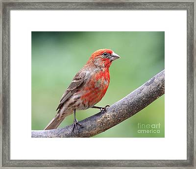 House Finch Framed Print by Wingsdomain Art and Photography