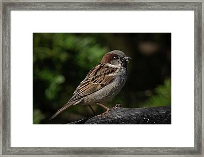 House Sparrow 2 Framed Print