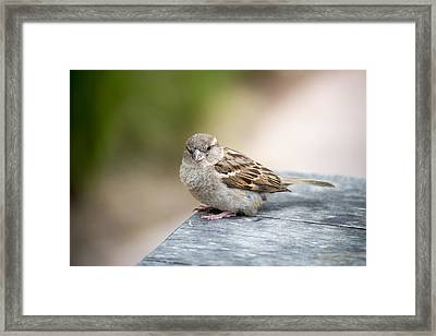 Framed Print featuring the photograph House Sparrow by Scott Lyons