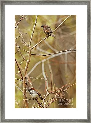 House Sparrows Framed Print by Natural Focal Point Photography