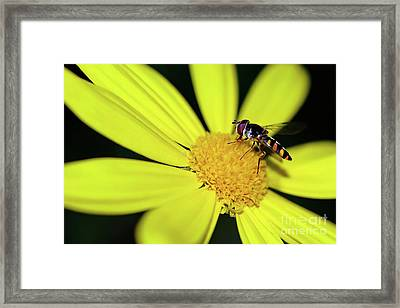 Framed Print featuring the photograph Hoverfly On Bright Yellow Daisy By Kaye Menner by Kaye Menner