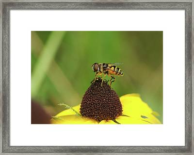 Hoverfly On Brown Eyed Susan Framed Print by Michael Peychich