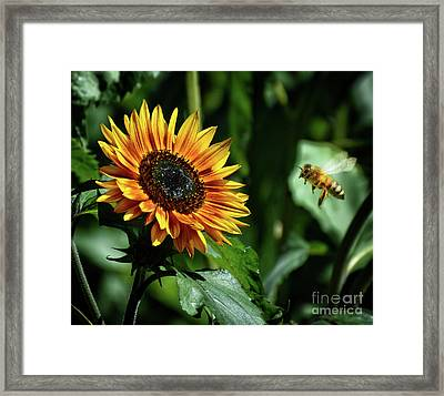 Hovering Bee Going For Sunflower Framed Print by Stephan Grixti