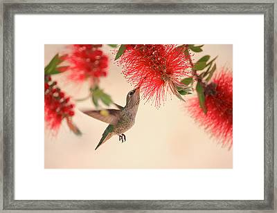 Hovering Hummingbird Framed Print by Penny Meyers