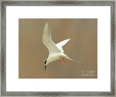 Hovering Tern Framed Print by Robert Frederick