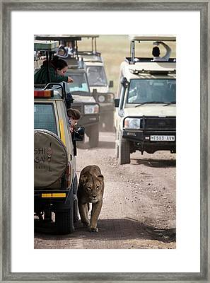 How To Find A Lion In The Serengeti Framed Print