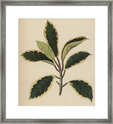 Hoya Variegata Framed Print by English School