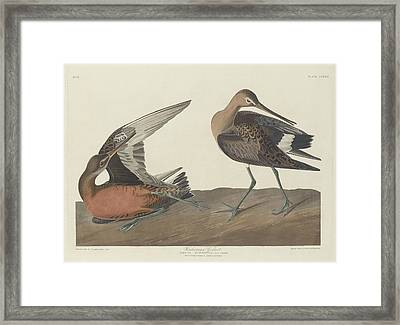 Hudsonian Godwit Framed Print