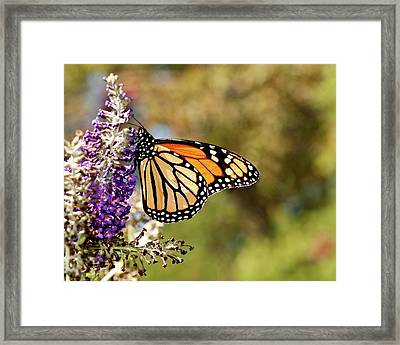 Framed Print featuring the photograph Hues Of Autumn Monarch by Lara Ellis