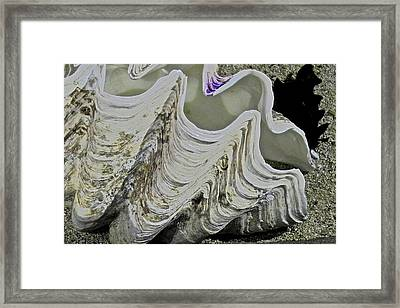 Huge Clam Shell Framed Print