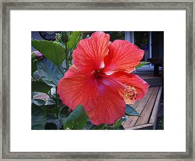 Huge Hibiscus  Framed Print
