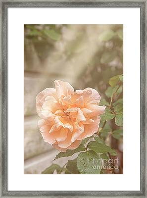 Huge Pink Rose In Garden Framed Print by Patricia Hofmeester