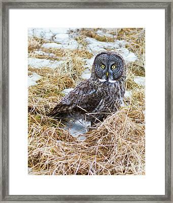 Huh- Great Gray Owl Framed Print by Lloyd Alexander