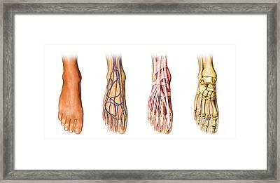 Human Foot Anatomy Showing Skin, Veins Framed Print