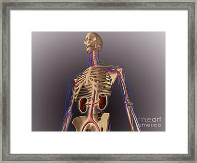 Human Skeleton Showing Kidneys Framed Print