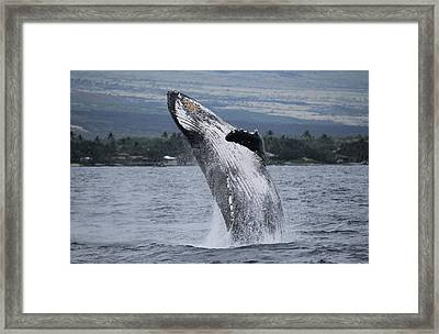 Framed Print featuring the photograph Humback Whale Breaching by Pamela Walton