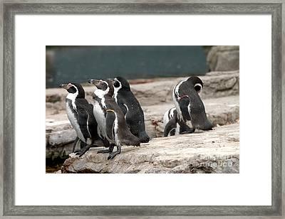 Humboldt Penguins Framed Print