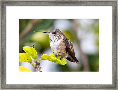 Hummer On A Leaf Framed Print by Phil Stone