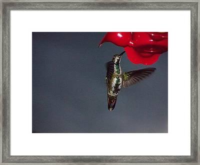 Humminbird Flash Framed Print by William Patterson