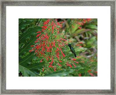 Humming Bird And Red Flowers Framed Print