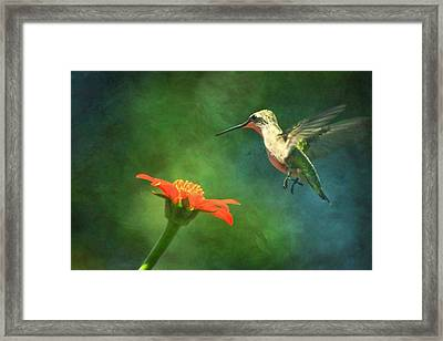 Humming Bird And Zinnia With Textures Series Framed Print