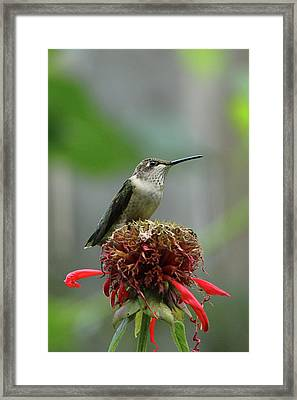Humming Bird Atop Bee Balm Framed Print