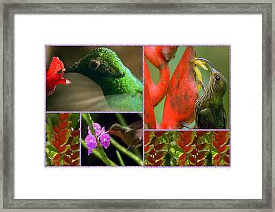 Humming Bird Collection Collage  Framed Print by Navin Joshi