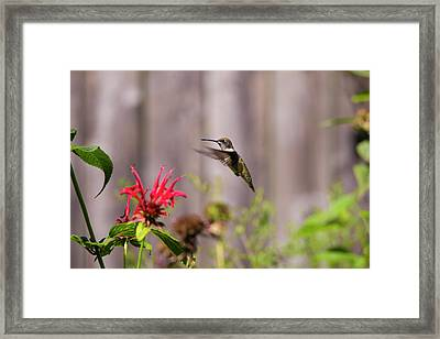 Humming Bird Hovering Framed Print