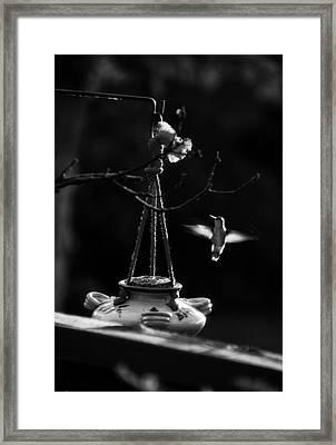 Humming Bird Humming Bird At Sunrise Bw Framed Print