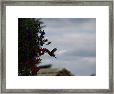 Humming Bird In The Parrots Beak Framed Print by Laurie Kidd