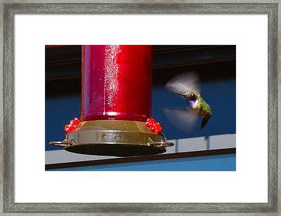 Humming Bird Framed Print