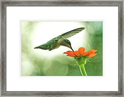 Humming Bird Moth And Butterfly Bush  Framed Print