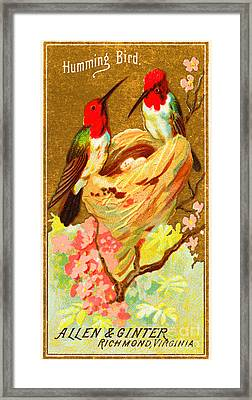 Humming Bird Victorian Tobacco Card By Allen And Ginter Framed Print