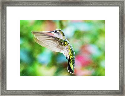 Hummingbird 06 - 9-13 Framed Print by Barry Jones