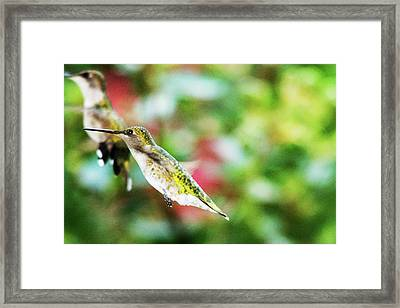 Hummingbird 07 - 9-13 Framed Print by Barry Jones
